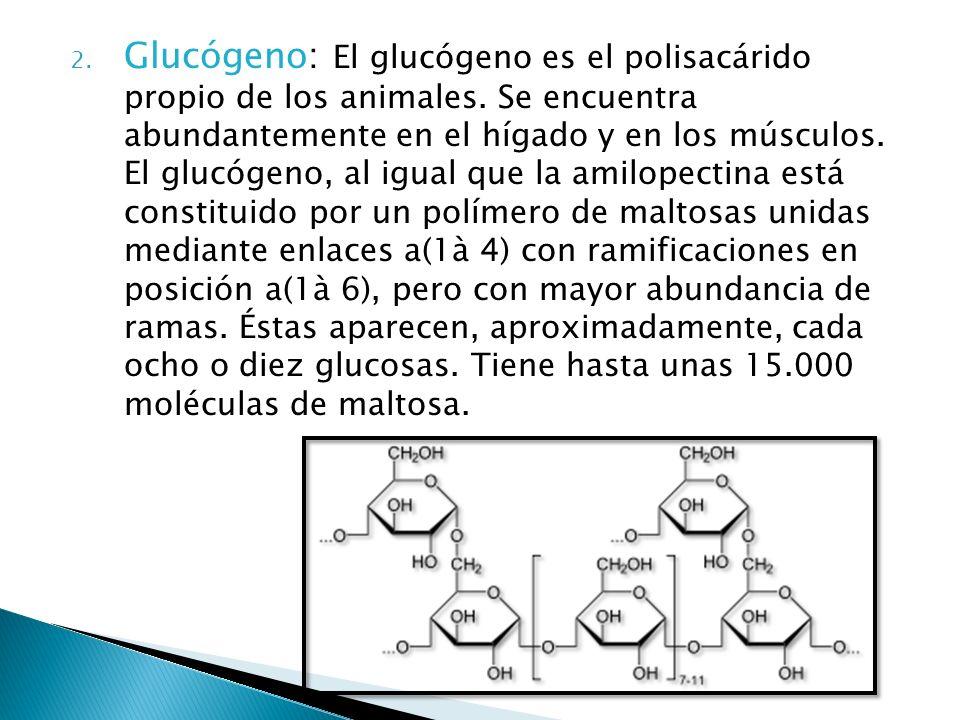 2. Glucógeno: El glucógeno es el polisacárido propio de los animales. Se encuentra abundantemente en el hígado y en los músculos. El glucógeno, al igu
