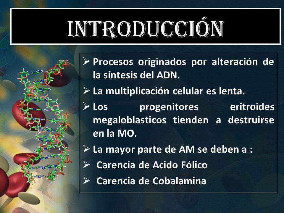 Introducción Procesos originados por alteración de la síntesis del ADN. La multiplicación celular es lenta. Los progenitores eritroides megaloblastico