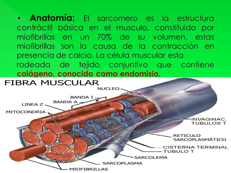 Anatomía: El sarcomero es la estructura contráctil básica en el musculo, constituido por miofibrillas en un 70% de su volumen, estas miofibrillas son la causa de la contracción en presencia de calcio.