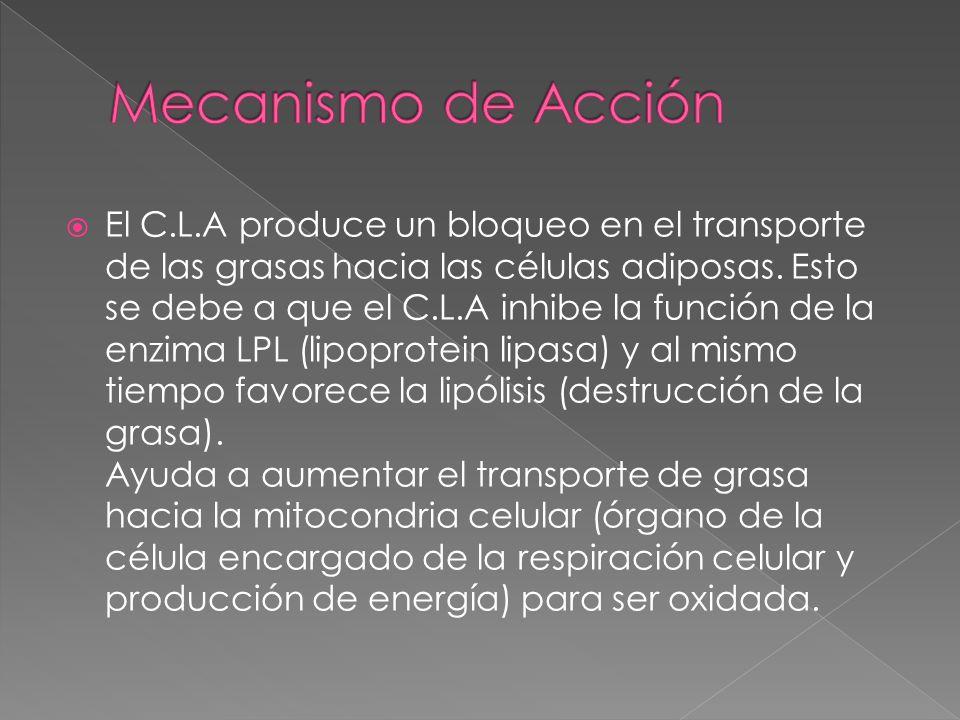 El C.L.A produce un bloqueo en el transporte de las grasas hacia las células adiposas. Esto se debe a que el C.L.A inhibe la función de la enzima LPL