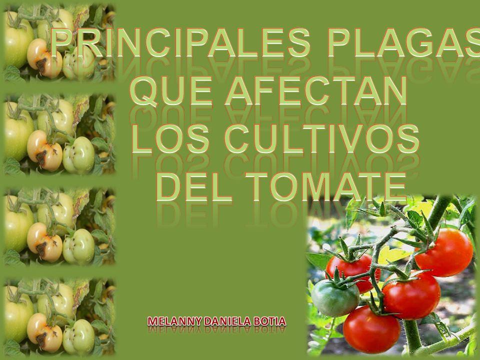 El tomate cultivado es originario de los Andes de Sudamérica....