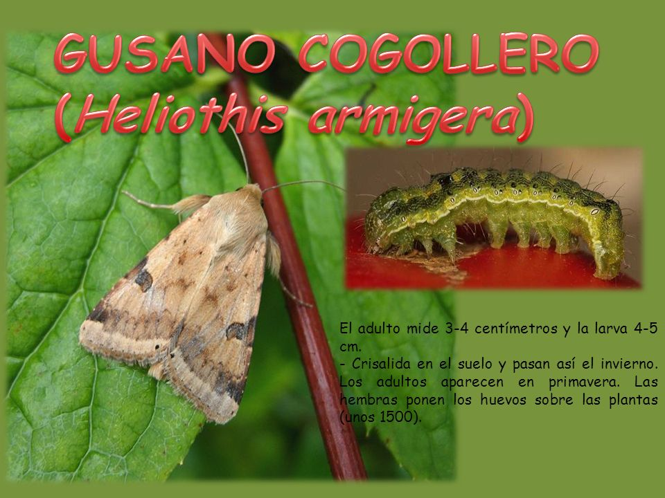 El adulto mide 3-4 centímetros y la larva 4-5 cm.- Crisalida en el suelo y pasan así el invierno.