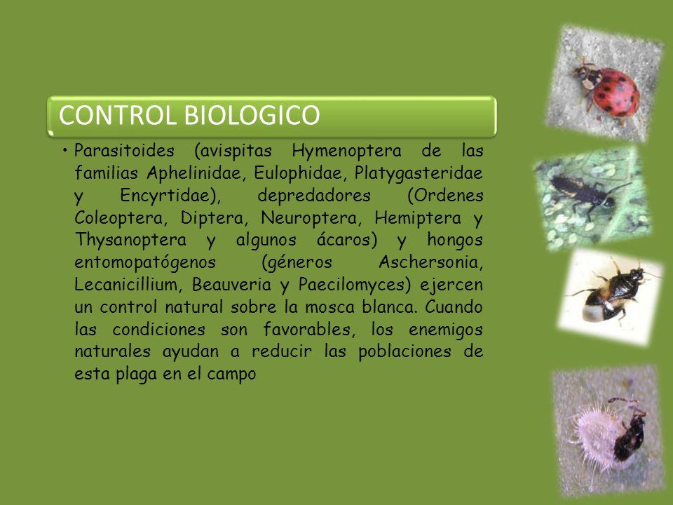 CONTROL BIOLOGICO Parasitoides (avispitas Hymenoptera de las familias Aphelinidae, Eulophidae, Platygasteridae y Encyrtidae), depredadores (Ordenes Coleoptera, Diptera, Neuroptera, Hemiptera y Thysanoptera y algunos ácaros) y hongos entomopatógenos (géneros Aschersonia, Lecanicillium, Beauveria y Paecilomyces) ejercen un control natural sobre la mosca blanca.