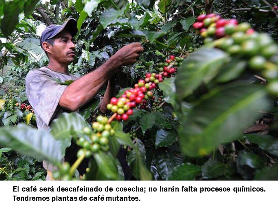 El café será descafeinado de cosecha; no harán falta procesos químicos. Tendremos plantas de café mutantes.
