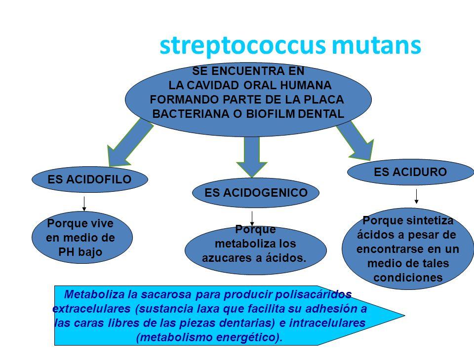 EUKARIOTES ACTINOBACTERIACYANOBACTERIA CLOSTRIDIA TRICHOCOCCUSOSCILLOSPIRALACTOCOCCUS STREPTOCOCCUS MUTANS STREPTOCOCCUS BACILLATES LACTOBACILLATES MOLLICUTESBACILLI STREPTOCOCCUS SORBINUS STREPTOCOCCUS PYOGENES FIRMICULESSPIROCHAETES EUBACTERIAARCHAEA