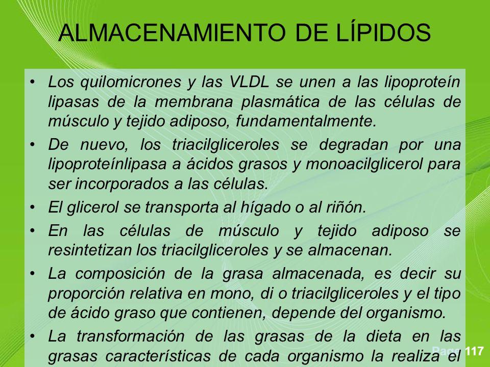 Page 117 Los quilomicrones y las VLDL se unen a las lipoproteín lipasas de la membrana plasmática de las células de músculo y tejido adiposo, fundamentalmente.