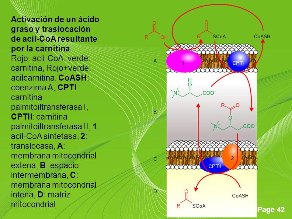 Page 42 Activación de un ácido graso y traslocación de acil-CoA resultante por la carnitina Rojo: acil-CoA, verde: carnitina, Rojo+verde: acilcarnitina, CoASH: coenzima A, CPTI: carnitina palmitoiltransferasa I, CPTII: carnitina palmitoiltransferasa II, 1: acil-CoA sintetasa, 2: translocasa, A: membrana mitocondrial extena, B: espacio intermembrana, C: membrana mitocondrial intena, D: matriz mitocondrial