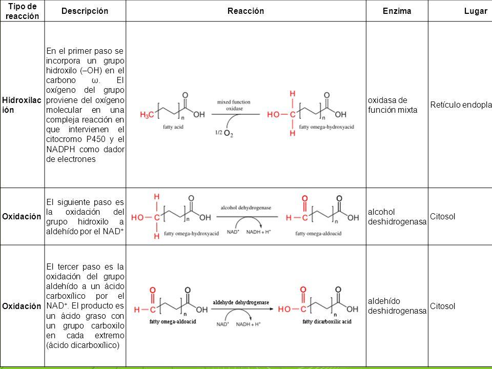 Page 47 Tipo de reacción DescripciónReacciónEnzimaLugar Hidroxilac ión En el primer paso se incorpora un grupo hidroxilo (–OH) en el carbono ω. El oxí