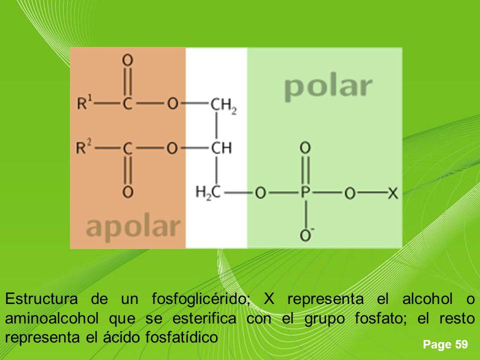 Page 59 Estructura de un fosfoglicérido; X representa el alcohol o aminoalcohol que se esterifica con el grupo fosfato; el resto representa el ácido f