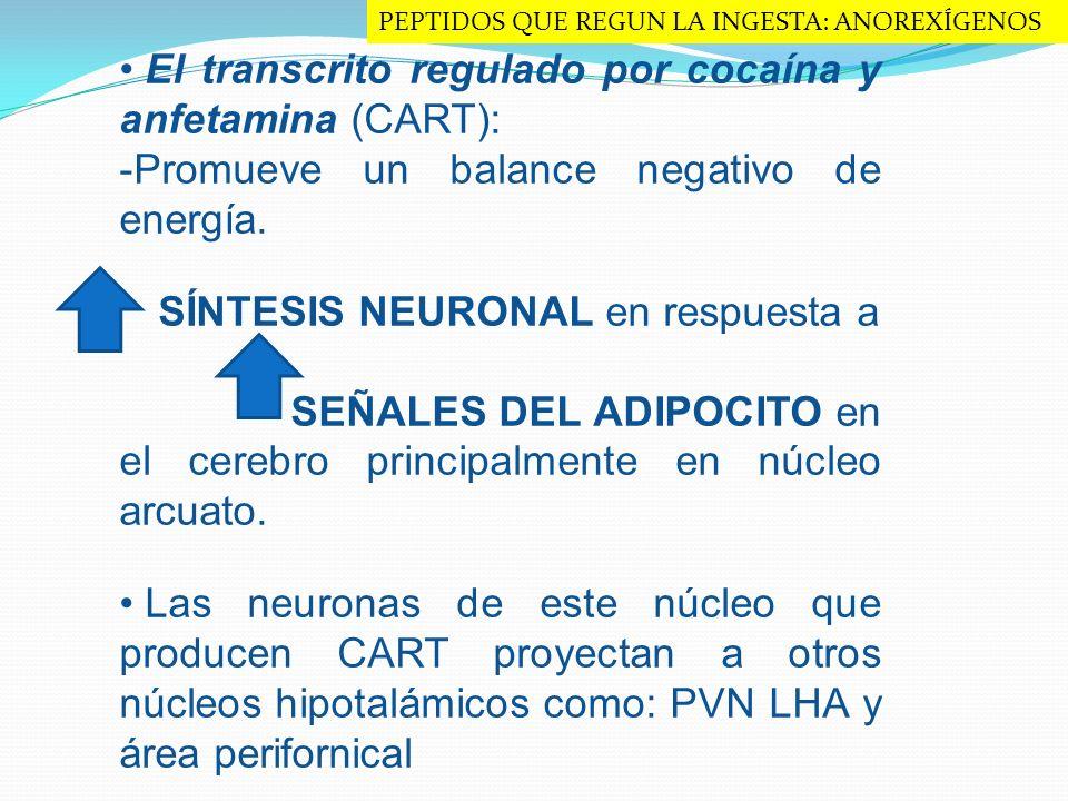 El transcrito regulado por cocaína y anfetamina (CART): -Promueve un balance negativo de energía. SÍNTESIS NEURONAL en respuesta a SEÑALES DEL ADIPOCI
