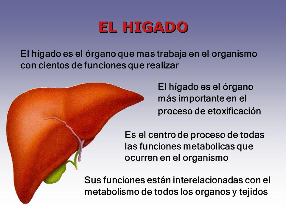 EL HIGADO Es el centro de proceso de todas las funciones metabolicas que ocurren en el organismo Sus funciones están interelacionadas con el metabolismo de todos los organos y tejidos El hígado es el órgano que mas trabaja en el organismo con cientos de funciones que realizar El hígado es el órgano más importante en el proceso de etoxificación