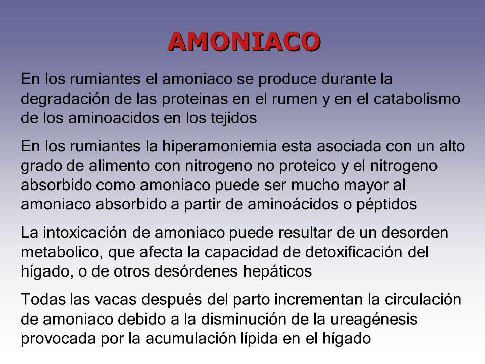AMONIACO En los rumiantes la hiperamoniemia esta asociada con un alto grado de alimento con nitrogeno no proteico y el nitrogeno absorbido como amoniaco puede ser mucho mayor al amoniaco absorbido a partir de aminoácidos o péptidos En los rumiantes el amoniaco se produce durante la degradación de las proteinas en el rumen y en el catabolismo de los aminoacidos en los tejidos La intoxicación de amoniaco puede resultar de un desorden metabolico, que afecta la capacidad de detoxificación del hígado, o de otros desórdenes hepáticos Todas las vacas después del parto incrementan la circulación de amoniaco debido a la disminución de la ureagénesis provocada por la acumulación lípida en el hígado
