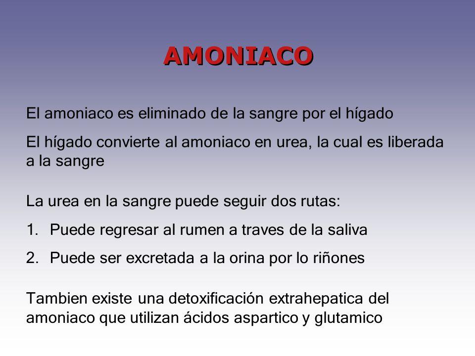 AMONIACO El amoniaco es eliminado de la sangre por el hígado El hígado convierte al amoniaco en urea, la cual es liberada a la sangre La urea en la sangre puede seguir dos rutas: 1.Puede regresar al rumen a traves de la saliva 2.Puede ser excretada a la orina por lo riñones Tambien existe una detoxificación extrahepatica del amoniaco que utilizan ácidos aspartico y glutamico