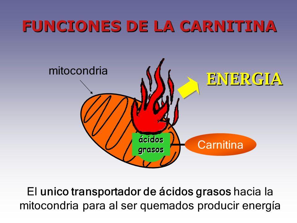 ENERGIA El unico transportador de ácidos grasos hacia la mitocondria para al ser quemados producir energía FUNCIONES DE LA CARNITINA ácidos grasos Carnitina mitocondria