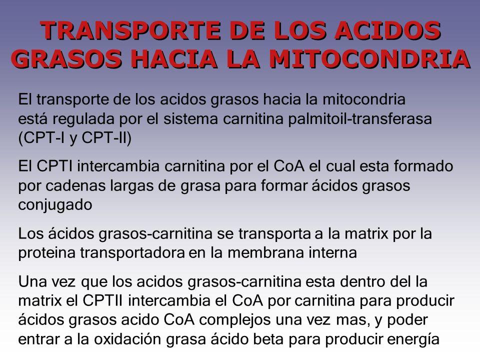 TRANSPORTE DE LOS ACIDOS GRASOS HACIA LA MITOCONDRIA El transporte de los acidos grasos hacia la mitocondria está regulada por el sistema carnitina pa