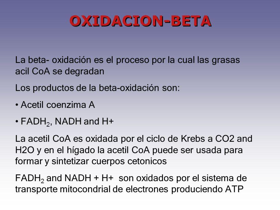 OXIDACION-BETA La beta- oxidación es el proceso por la cual las grasas acil CoA se degradan Los productos de la beta-oxidación son: Acetil coenzima A FADH 2, NADH and H+ La acetil CoA es oxidada por el ciclo de Krebs a CO2 and H2O y en el hígado la acetil CoA puede ser usada para formar y sintetizar cuerpos cetonicos FADH 2 and NADH + H+ son oxidados por el sistema de transporte mitocondrial de electrones produciendo ATP