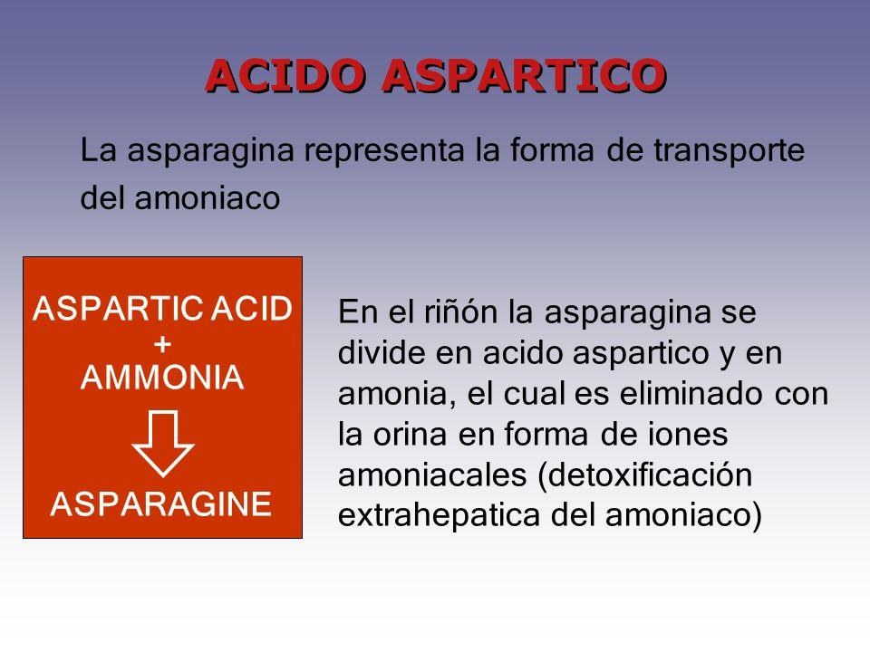 En el riñón la asparagina se divide en acido aspartico y en amonia, el cual es eliminado con la orina en forma de iones amoniacales (detoxificación extrahepatica del amoniaco) ASPARAGINE ASPARTIC ACID + AMMONIA La asparagina representa la forma de transporte del amoniaco