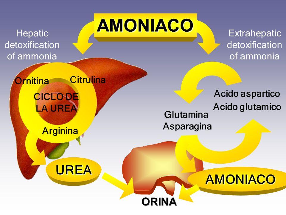 UREA Glutamina Asparagina Acido aspartico Acido glutamico Extrahepatic detoxification of ammonia ORINA AMONIACO Citrulina Arginina Ornitina CICLO DE L