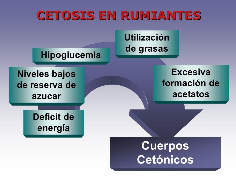 Niveles bajos de reserva de azucar Deficit de energía Hipoglucemia Utilización de grasas Excesiva formación de acetatos Cuerpos Cetónicos CETOSIS EN RUMIANTES