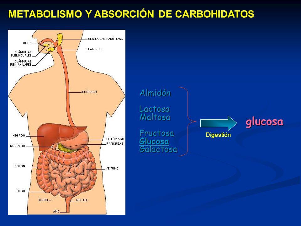METABOLISMO Y ABSORCIÓN DE CARBOHIDATOS glucosa Digestión AlmidónLactosaMaltosaFructosaGlucosaGalactosa
