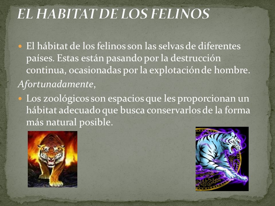 El hábitat de los felinos son las selvas de diferentes países. Estas están pasando por la destrucción continua, ocasionadas por la explotación de homb