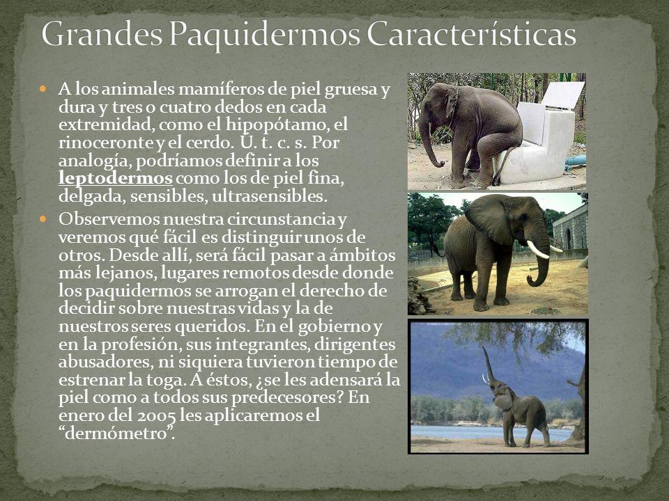 A los animales mamíferos de piel gruesa y dura y tres o cuatro dedos en cada extremidad, como el hipopótamo, el rinoceronte y el cerdo. Ú. t. c. s. Po