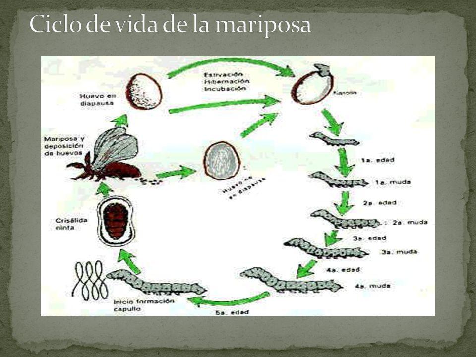 Plantas que favorecen la atracción de las mariposas las frutaceas como cítricos de lima, naranjo y mandarina.
