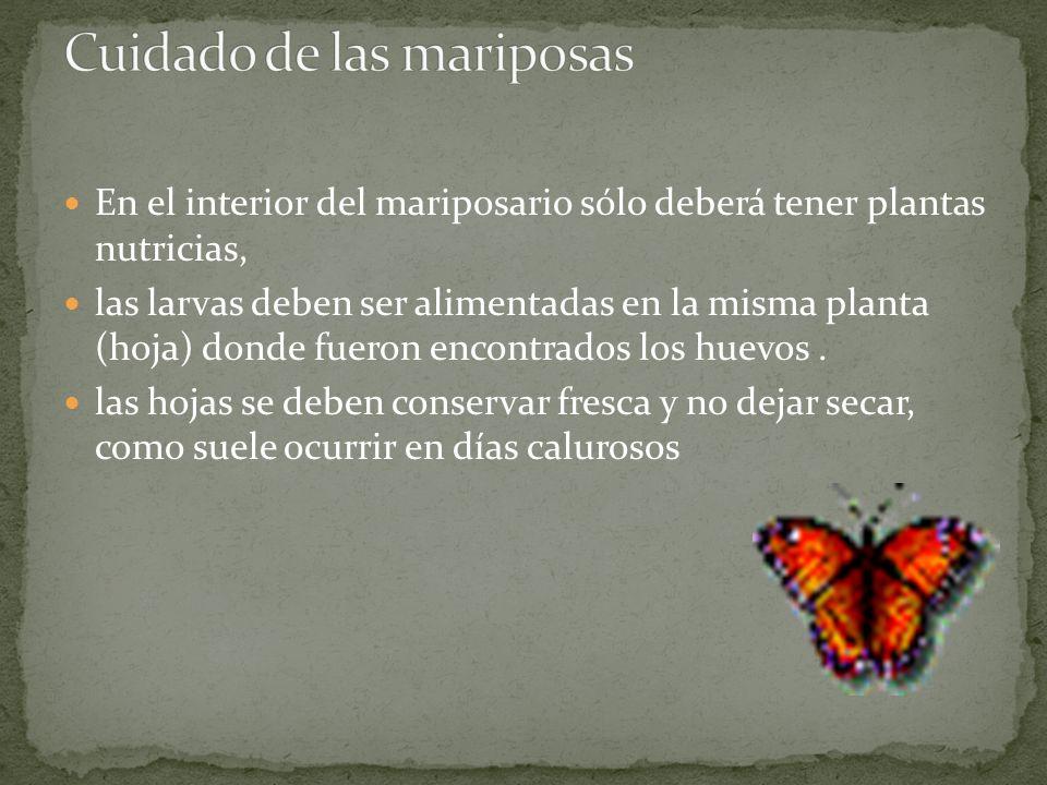 En el interior del mariposario sólo deberá tener plantas nutricias, las larvas deben ser alimentadas en la misma planta (hoja) donde fueron encontrado