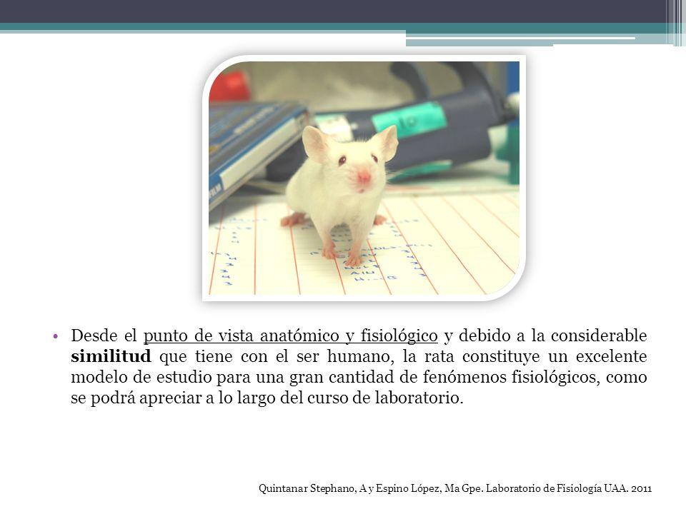 Desde el punto de vista anatómico y fisiológico y debido a la considerable similitud que tiene con el ser humano, la rata constituye un excelente mode