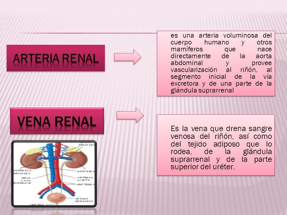es una arteria voluminosa del cuerpo humano y otros mamíferos que nace directamente de la aorta abdominal y provee vascularización al riñón, al segmen