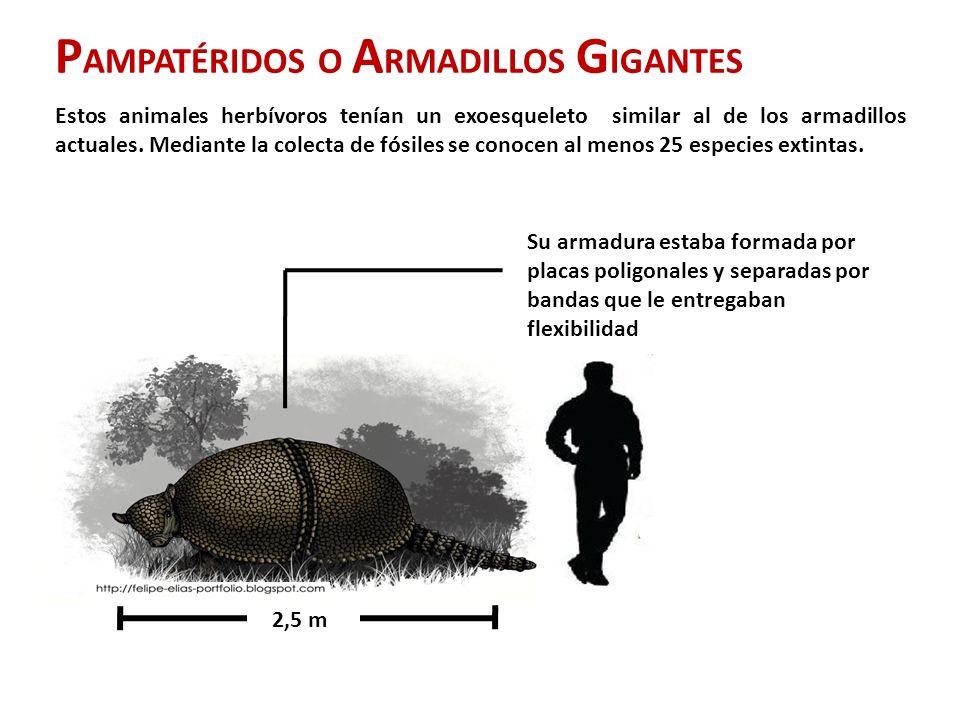 P AMPATÉRIDOS O A RMADILLOS G IGANTES Estos animales herbívoros tenían un exoesqueleto similar al de los armadillos actuales.