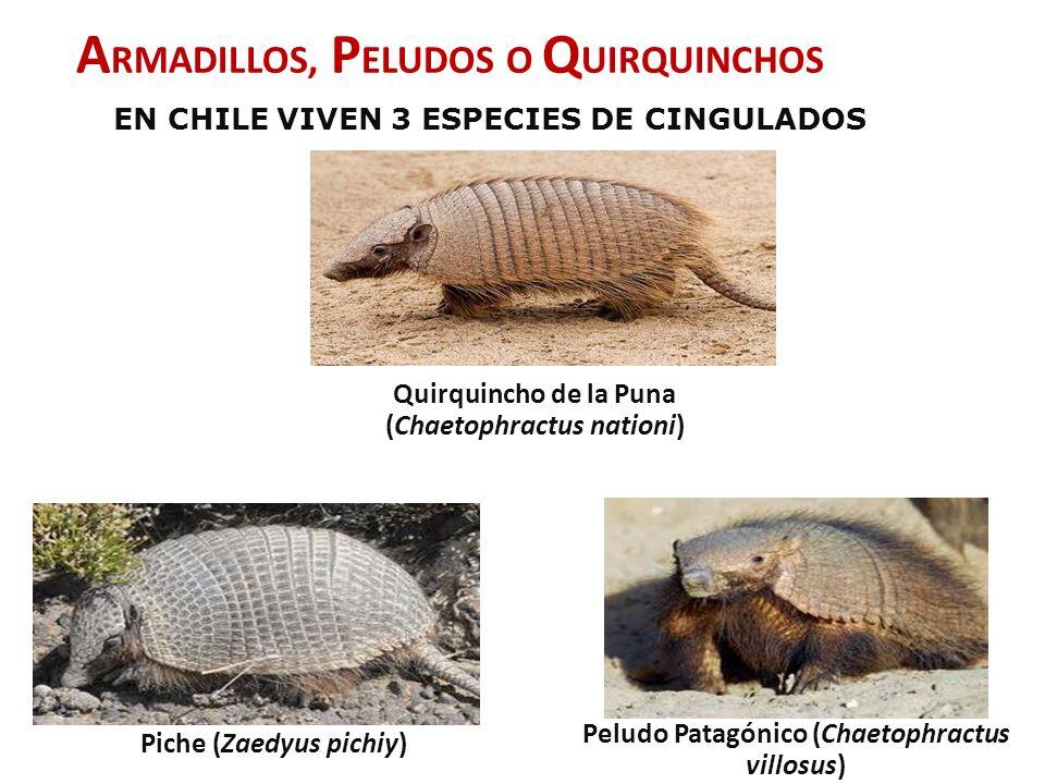 DISTRIBUCION Y ESTADO DE CONSERVACION PICHE PELUDO IUCN: Cercana a la amenaza Chile: Vulnerable IUCN: Menor Preocupación Chile: Rara