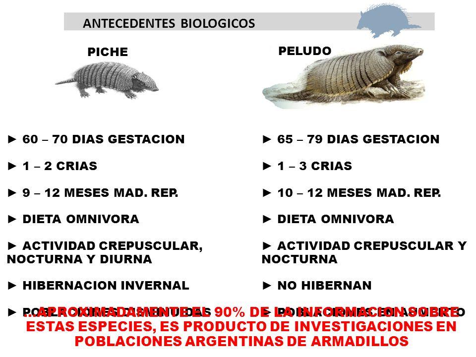 ANTECEDENTES BIOLOGICOS PICHE PELUDO 60 – 70 DIAS GESTACION 1 – 2 CRIAS 9 – 12 MESES MAD.