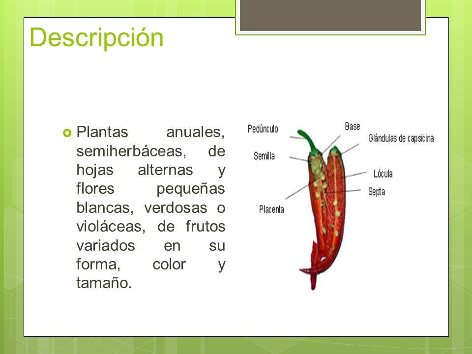Descripción Plantas anuales, semiherbáceas, de hojas alternas y flores pequeñas blancas, verdosas o violáceas, de frutos variados en su forma, color y tamaño.