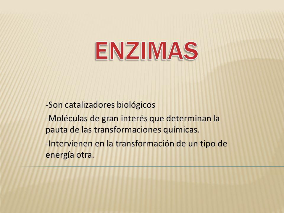 -Son catalizadores biológicos -Moléculas de gran interés que determinan la pauta de las transformaciones químicas. -Intervienen en la transformación d