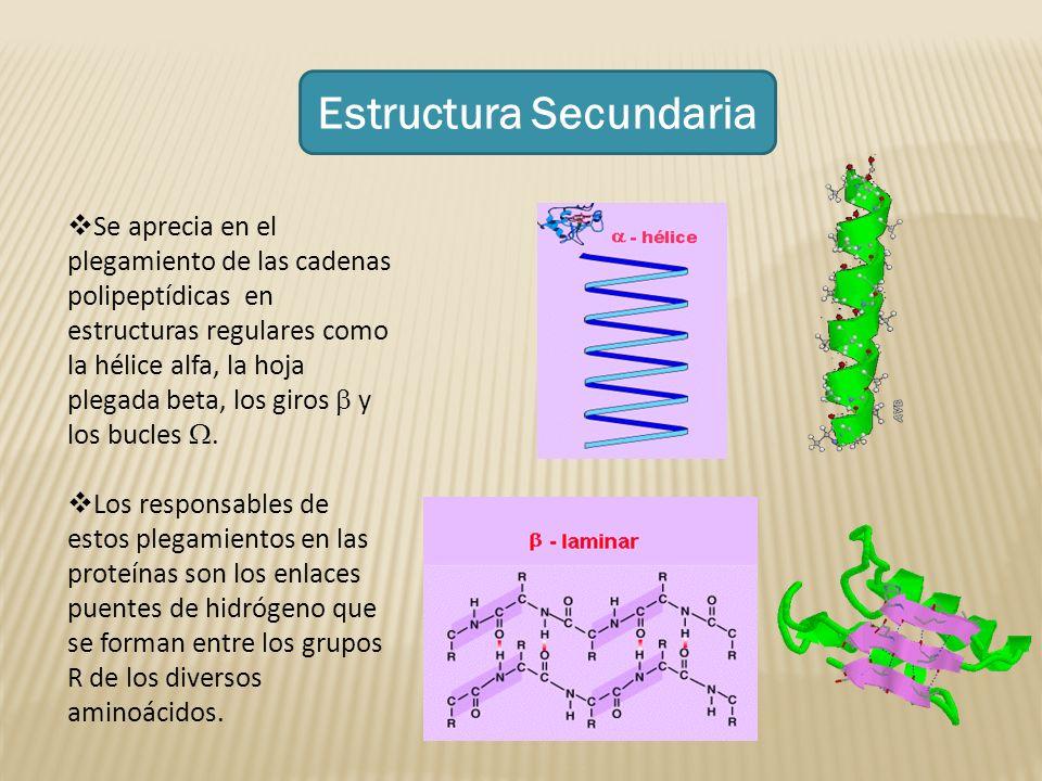 Estructura Secundaria Se aprecia en el plegamiento de las cadenas polipeptídicas en estructuras regulares como la hélice alfa, la hoja plegada beta, l