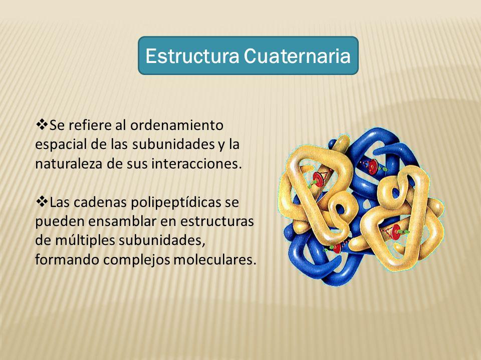 Estructura Cuaternaria Se refiere al ordenamiento espacial de las subunidades y la naturaleza de sus interacciones. Las cadenas polipeptídicas se pued