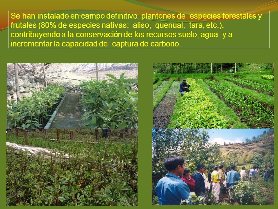 Se han instalado en campo definitivo plantones de especies forestales y frutales (80% de especies nativas: aliso, quenual, tara, etc.), contribuyendo