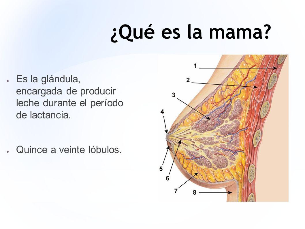 ¿Qué es la mama? Es la glándula, encargada de producir leche durante el período de lactancia. Quince a veinte lóbulos.