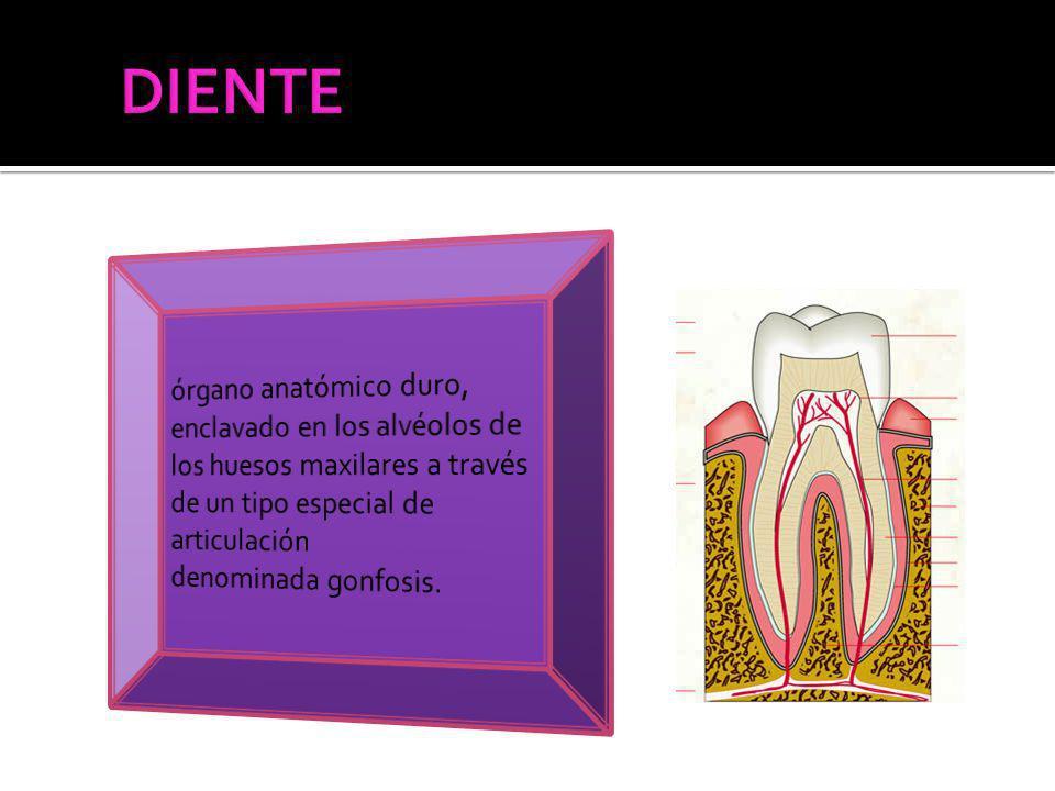 La dentina y la pulpa ocupan la mayor parte del diente La pulpa, de localización central, está rodeada de dentina excepto a nivel del orificio apical por el que comunica con los tejidos periodontales.