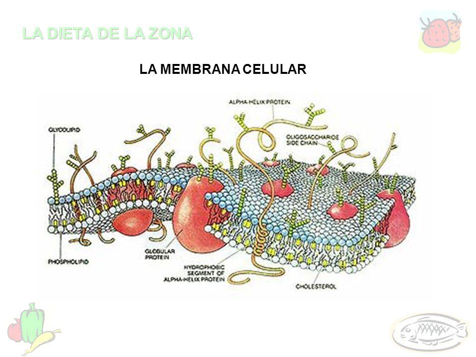 LA DIETA DE LA ZONA LA MEMBRANA CELULAR