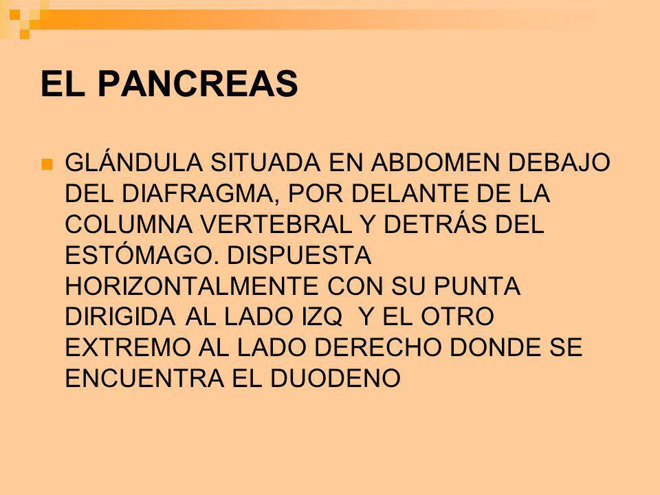 EL PANCREAS GLÁNDULA SITUADA EN ABDOMEN DEBAJO DEL DIAFRAGMA, POR DELANTE DE LA COLUMNA VERTEBRAL Y DETRÁS DEL ESTÓMAGO. DISPUESTA HORIZONTALMENTE CON