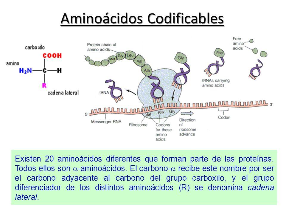 Aminoácidos Codificables Existen 20 aminoácidos diferentes que forman parte de las proteínas. Todos ellos son -aminoácidos. El carbono- recibe este no