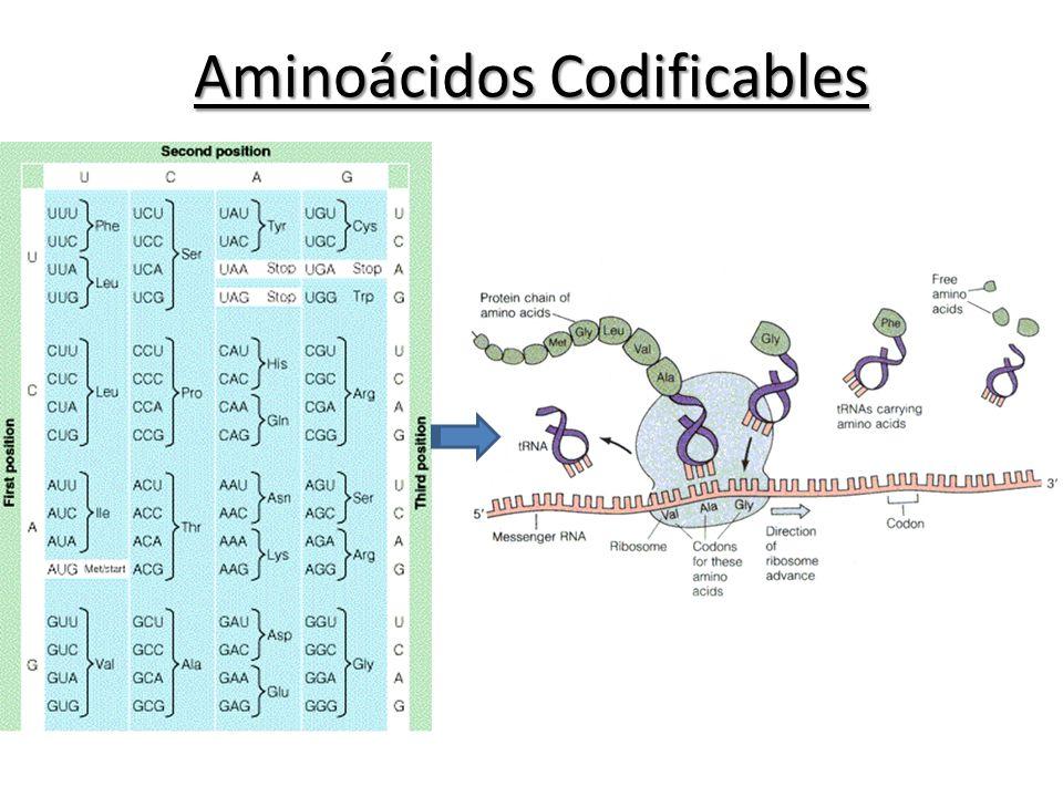 Aminoácidos Codificables
