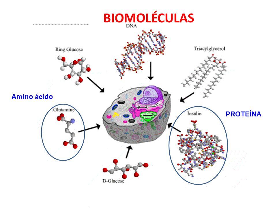 BIOMOLÉCULAS PROTEÍNA Amino ácido