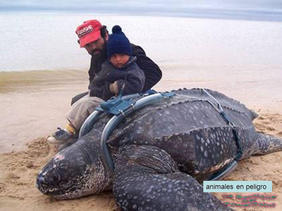 Misterio. El misterio de cómo algunos animales marinos encuentran el camino de regreso a casa para reproducirse después de emigrar a través de miles d