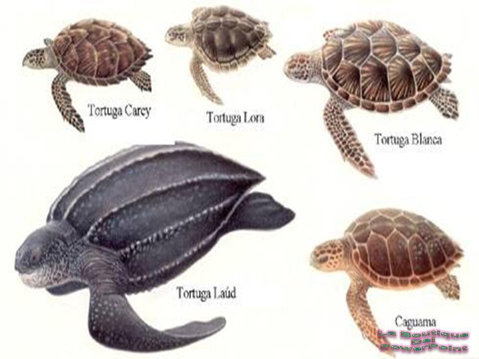 Las tortugas han cambiado mucho desde los Herpies, sus caparazones se marinas tienen un cuello conformado por 8 vértebras, lo pueden retraer adentro d