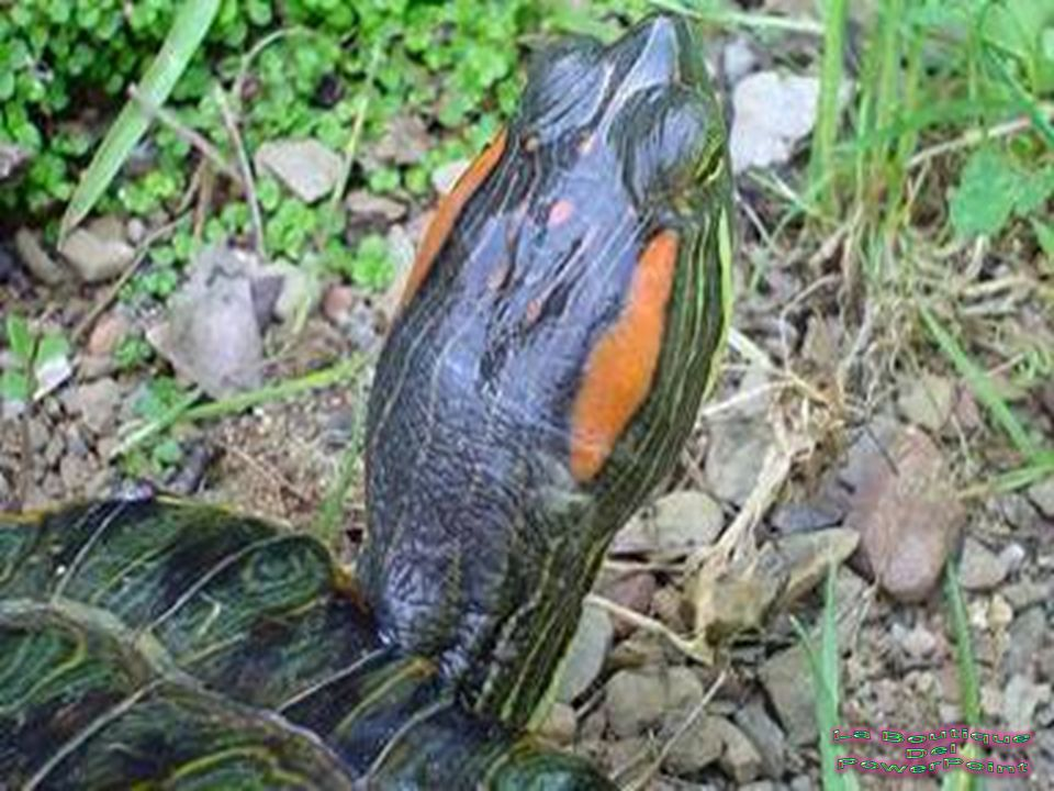 Las tortugas de orejas rojas tienen un apetito voraz y puedes darles de comer cada día. Después durante el invierno, con el frío, las tortugas manteni