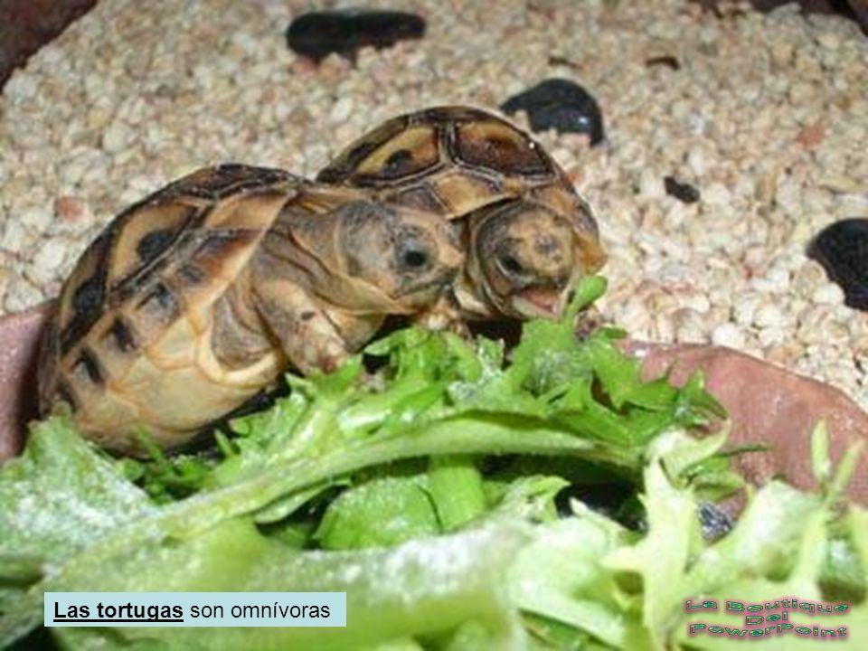 COMO SE ALIMENTAN Cuando tenemos como mascota a una tortuga hay que alimentarla con una dieta especial. Esta dieta debe sustituir de alguna manera a l