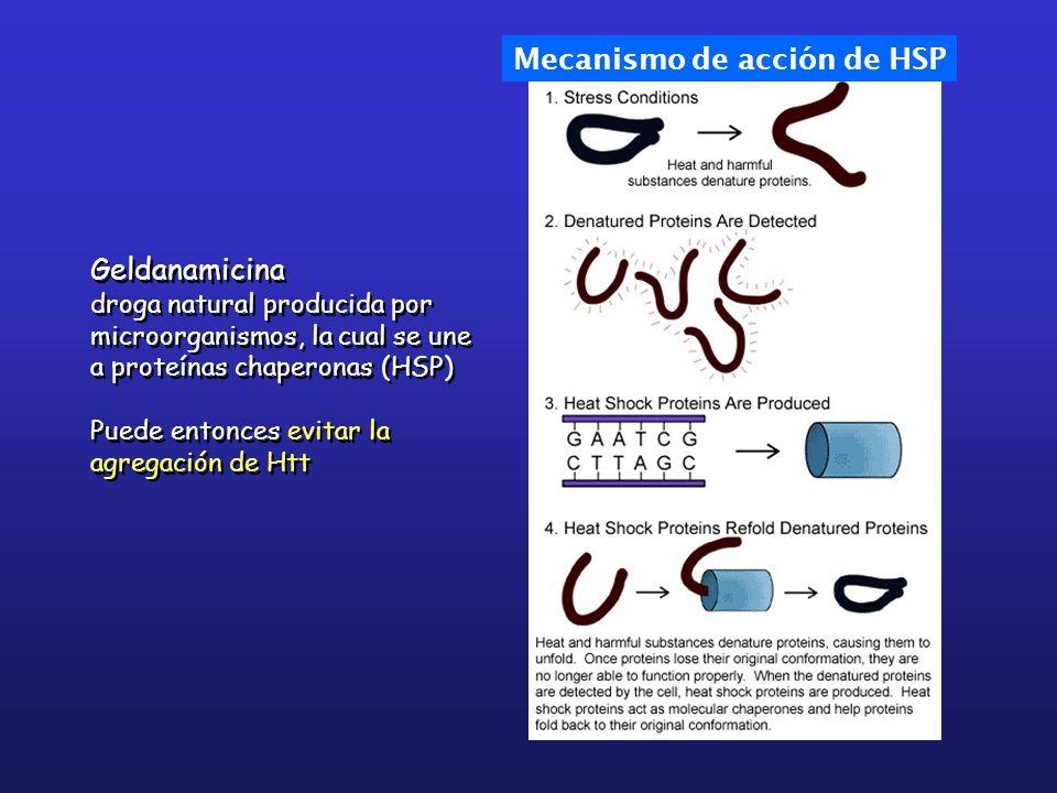 Geldanamicina droga natural producida por microorganismos, la cual se une a proteínas chaperonas (HSP) Puede entonces evitar la agregación de Htt Geld